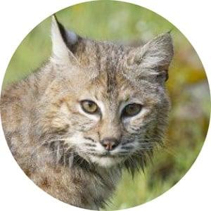 osx-bobcat