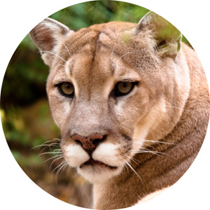osx-cougar