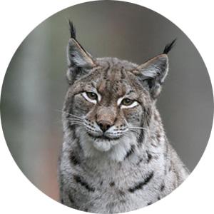osx-lynx