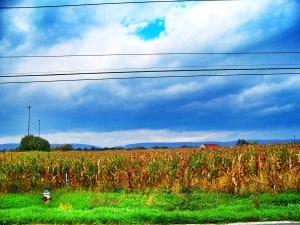Corn Field: After
