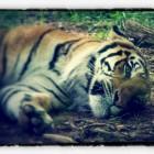 Tiger: After