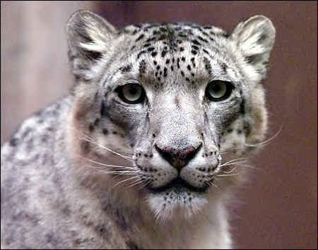 snow leopard pictures. about Snow Leopard at this